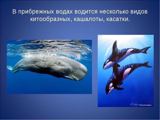 В прибрежных водах водится несколько видов китообразных, кашалоты, касатки.