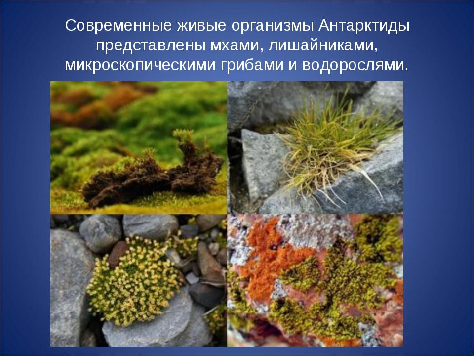 Современные живые организмы Антарктиды представлены мхами, лишайниками, микро...