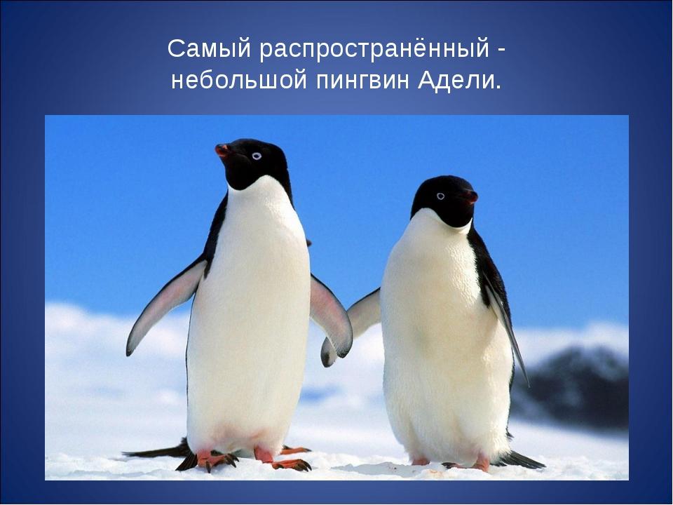 Самый распространённый - небольшой пингвин Адели.