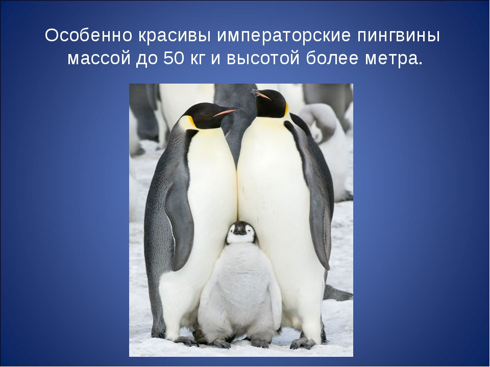 Особенно красивы императорские пингвины массой до 50 кг и высотой более метра.