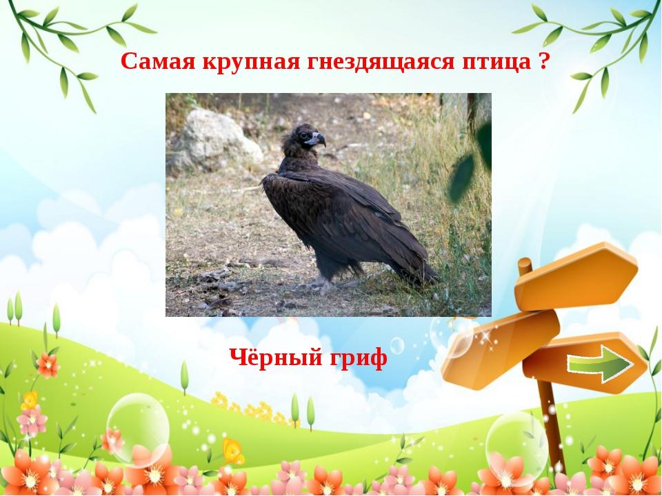 Самая крупная гнездящаяся птица ? Чёрный гриф