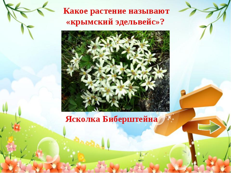 Какое растение называют «крымский эдельвейс»? Ясколка Биберштейна