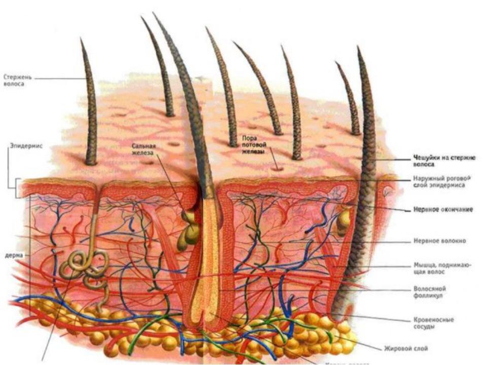 Строение кожи *