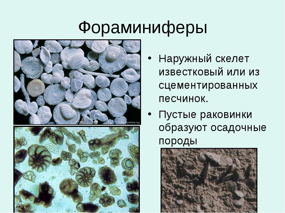 Фораминиферы Наружный скелет известковый или из сцементированных песчинок. Пу...