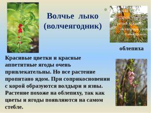 Волчье лыко (волчеягодник) Красивые цветки и красные аппетитные ягоды очень п