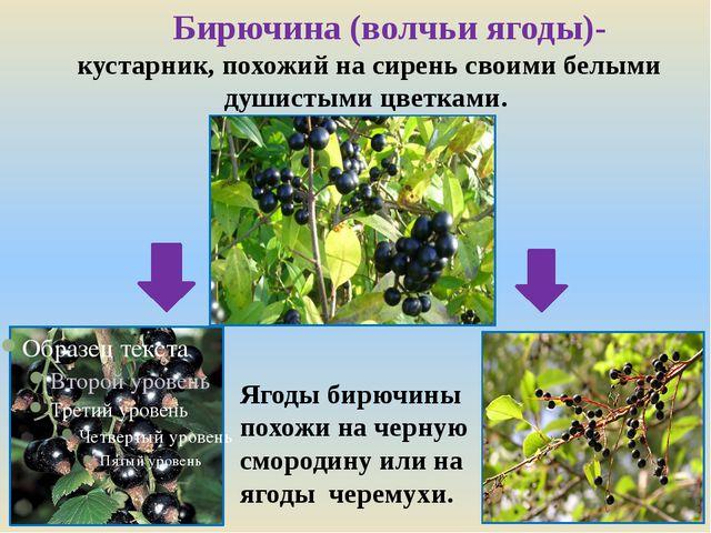 Ягоды бирючины похожи на черную смородину или на ягоды черемухи. Бирючина (во...