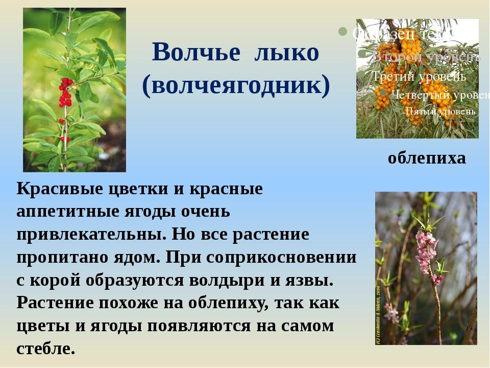 Волчье лыко (волчеягодник) Красивые цветки и красные аппетитные ягоды очень п...