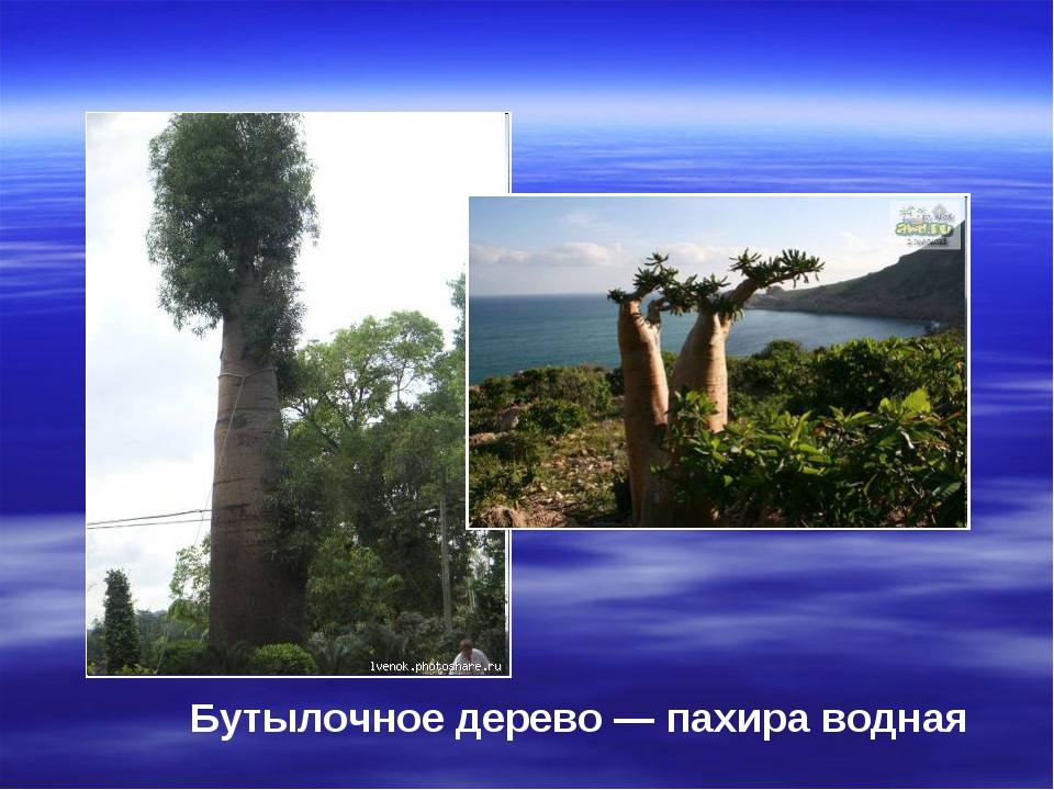 Бутылочное дерево — пахира водная
