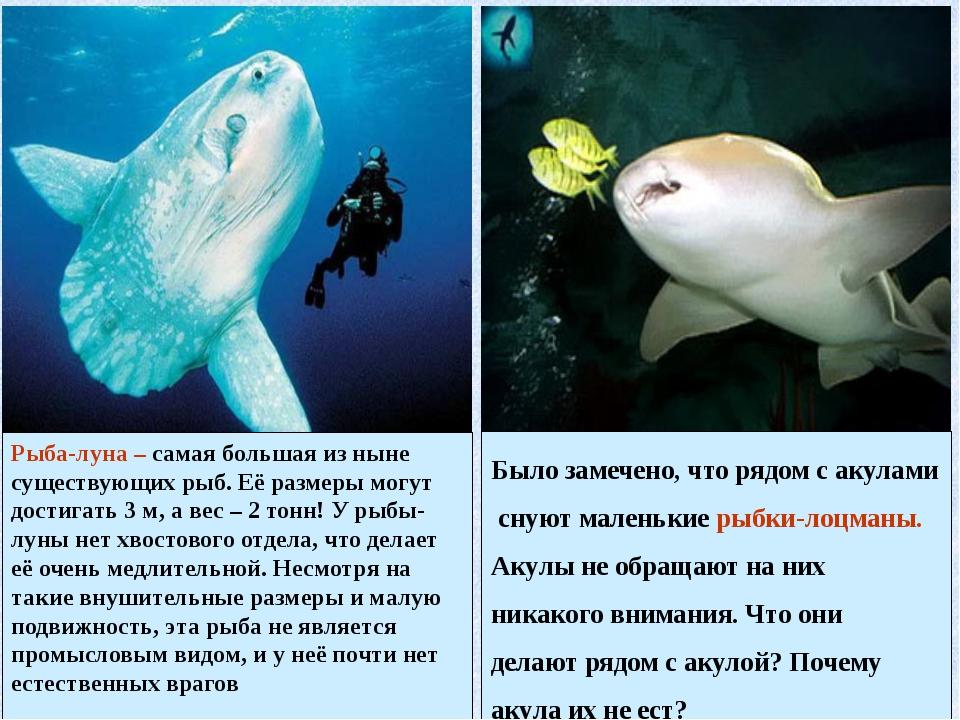 Рыба-луна – самая большая из ныне существующих рыб. Её размеры могут достигат...