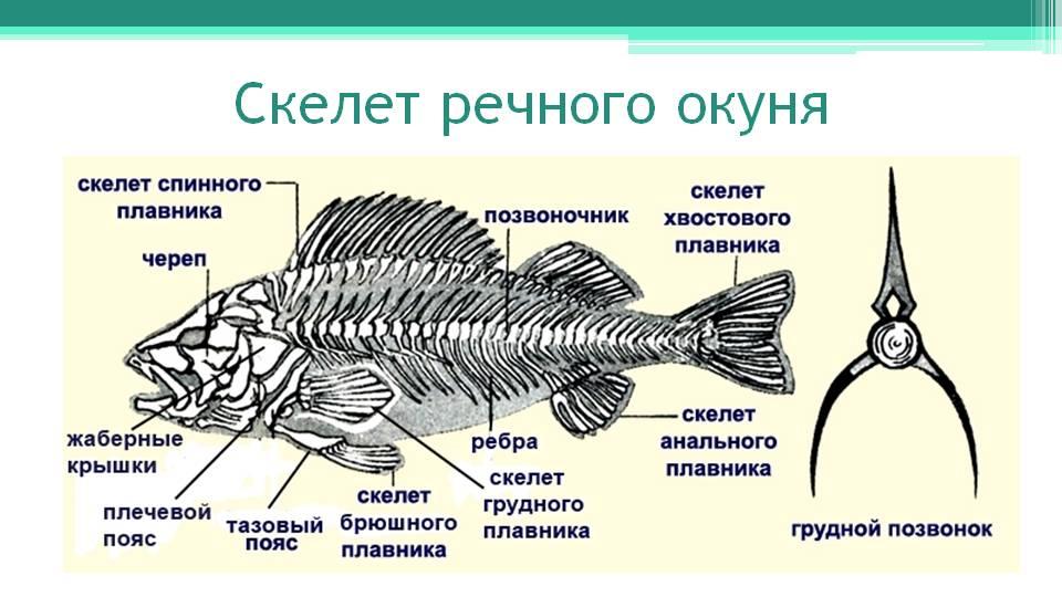 C:\Documents and Settings\Admin\Рабочий стол\skelet-rechnogo-okunya.jpg