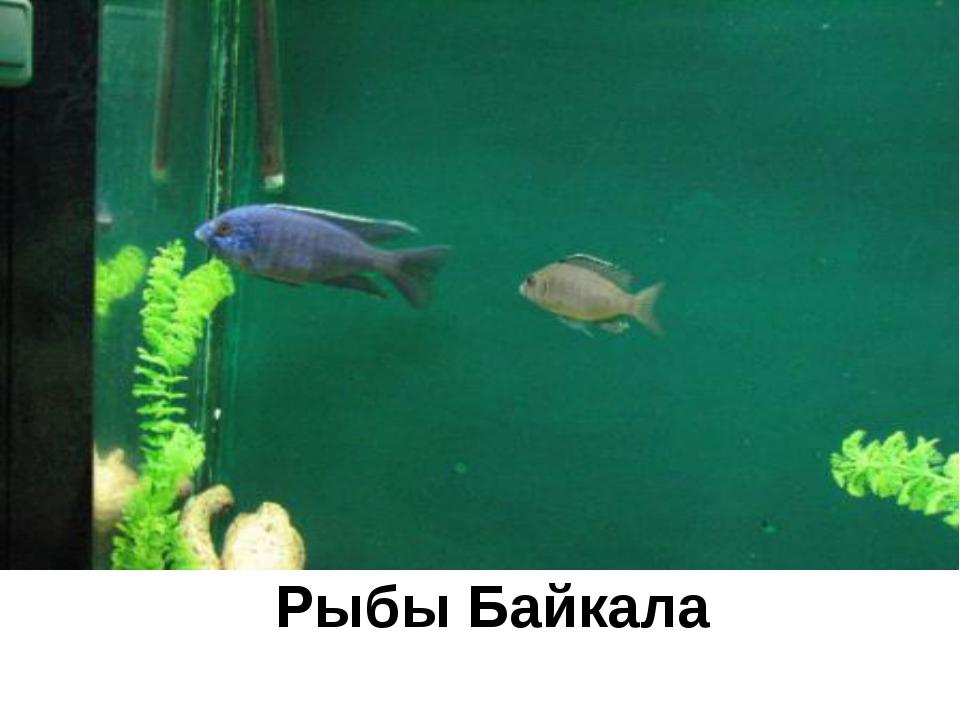 Рыбы Байкала