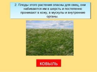 2. Плоды этого растения опасны для овец, они набиваются им в шерсть и постепе