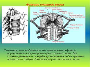 Функции спинного мозга У человека лишь наиболее простые двигательные рефлексы