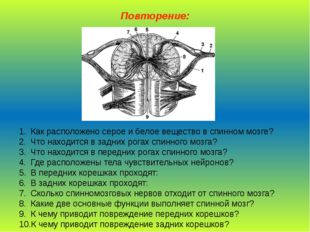 Повторение: Как расположено серое и белое вещество в спинном мозге? Что наход