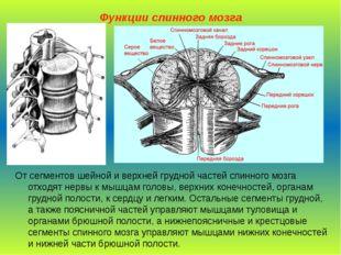 Функции спинного мозга От сегментов шейной и верхней грудной частей спинного