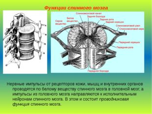 Функции спинного мозга Нервные импульсы от рецепторов кожи, мышц и внутренних
