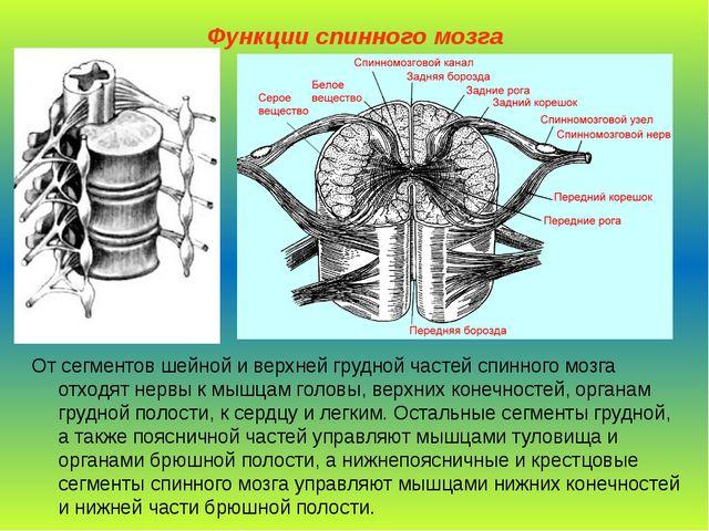 Функции спинного мозга От сегментов шейной и верхней грудной частей спинного...