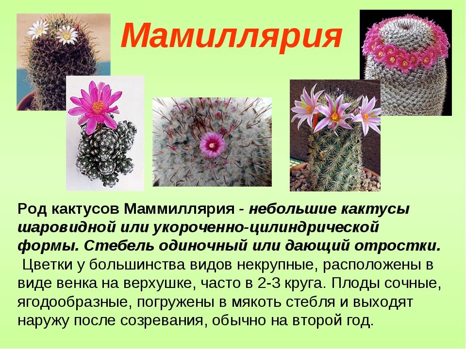 Род кактусов Маммиллярия - небольшие кактусы шаровидной или укороченно-цилинд...