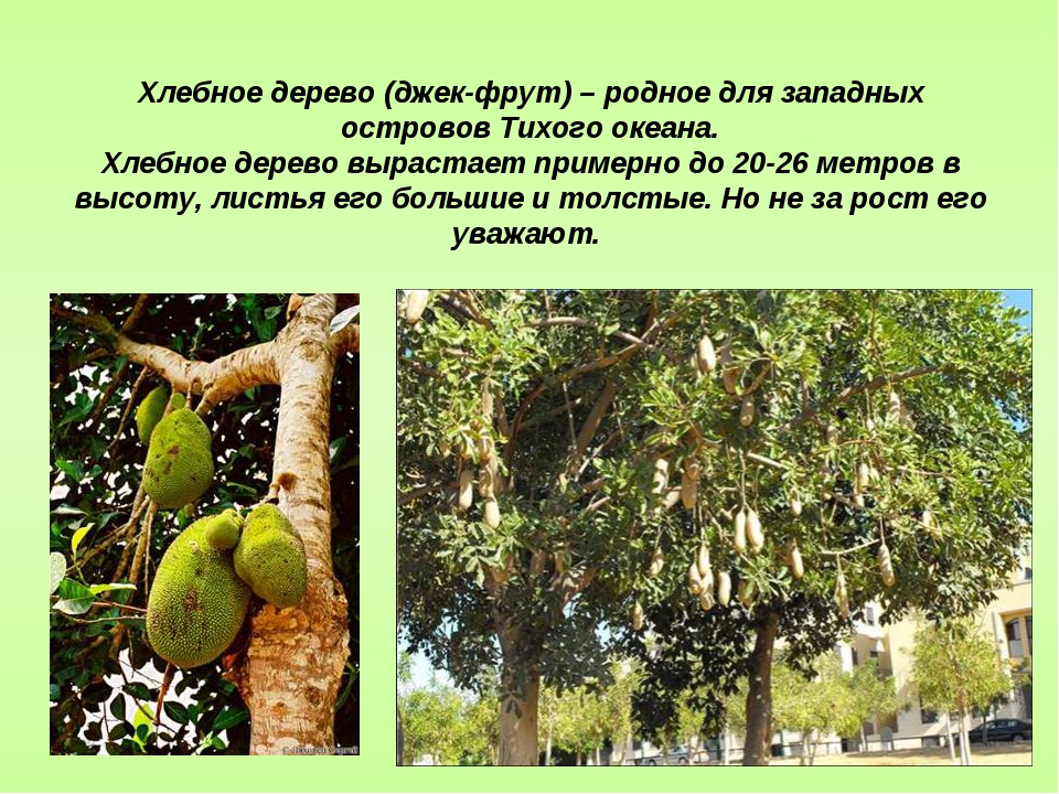 Хлебное дерево (джек-фрут) – родное для западных островов Тихого океана. Хлеб...