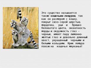 Это существо называется такжекошачьим лемуром, так как он размером с кошку,
