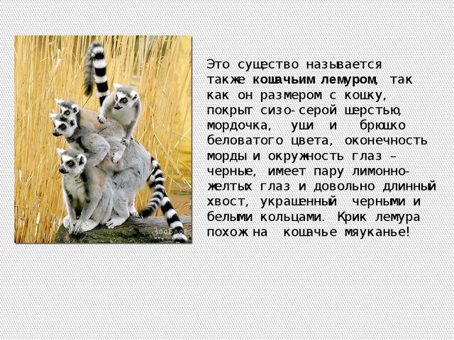 Это существо называется такжекошачьим лемуром, так как он размером с кошку,...
