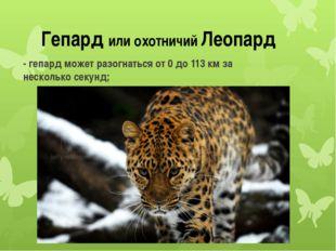 Гепард или охотничий Леопард - гепард может разогнаться от 0 до 113 км за нес