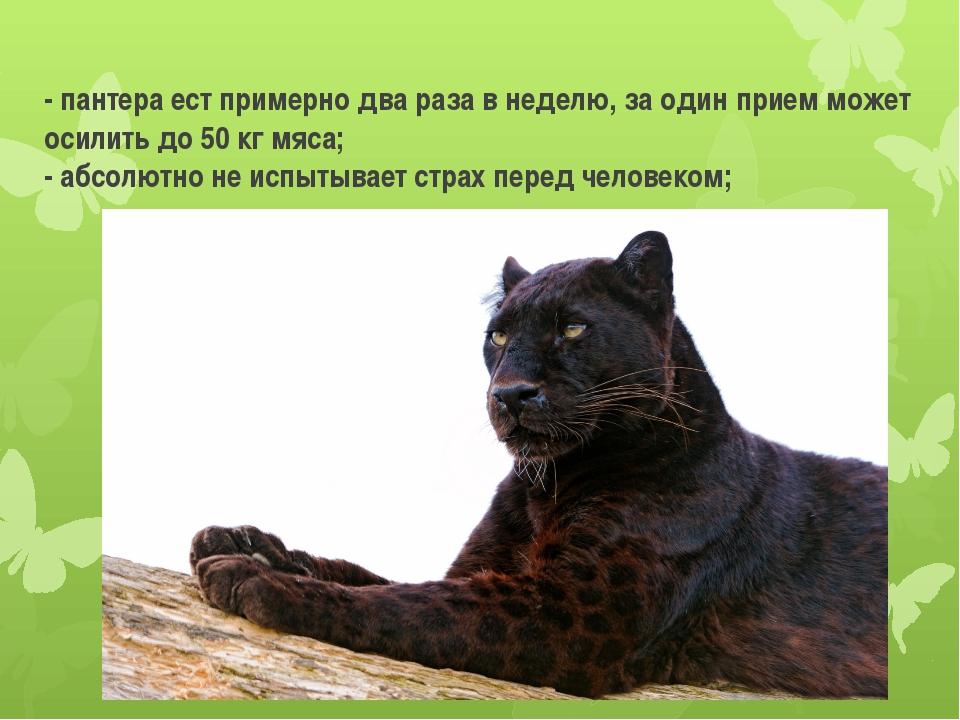 - пантера ест примерно два раза в неделю, за один прием может осилить до 50 к...