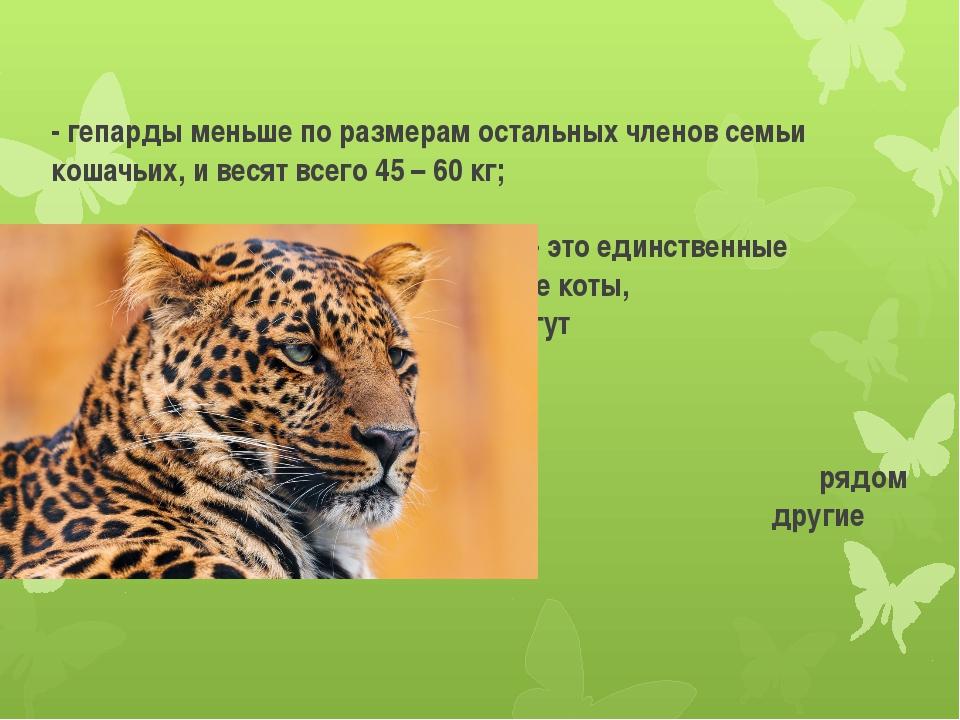 - гепарды меньше по размерам остальных членов семьи кошачьих, и весят всего...