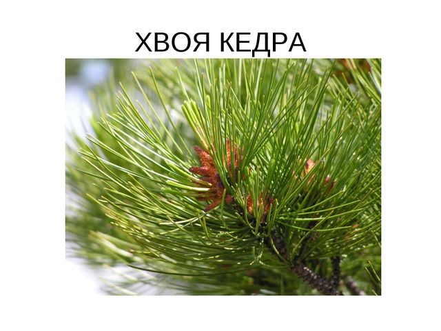 ХВОЯ КЕДРА