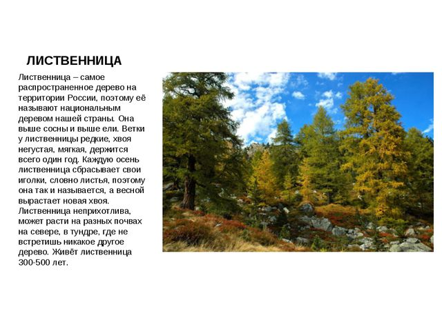 ЛИСТВЕННИЦА Лиственница – самое распространенное дерево на территории России,...