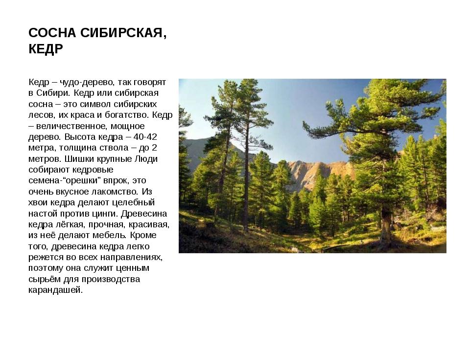 СОСНА СИБИРСКАЯ, КЕДР Кедр – чудо-дерево, так говорят в Сибири. Кедр или сиби...