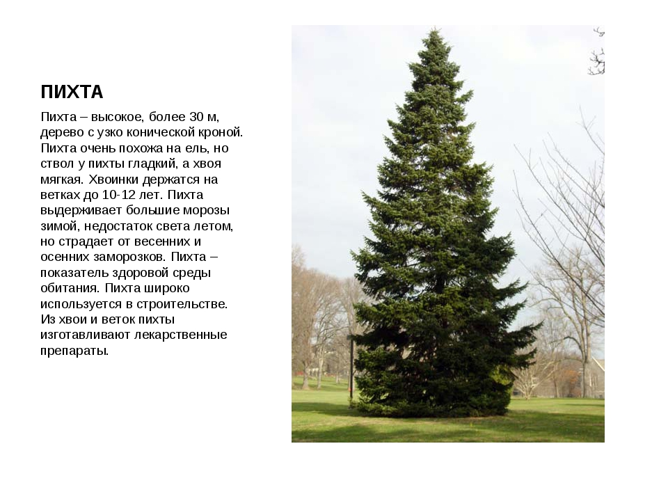 ПИХТА Пихта – высокое, более 30 м, дерево с узко конической кроной. Пихта оче...