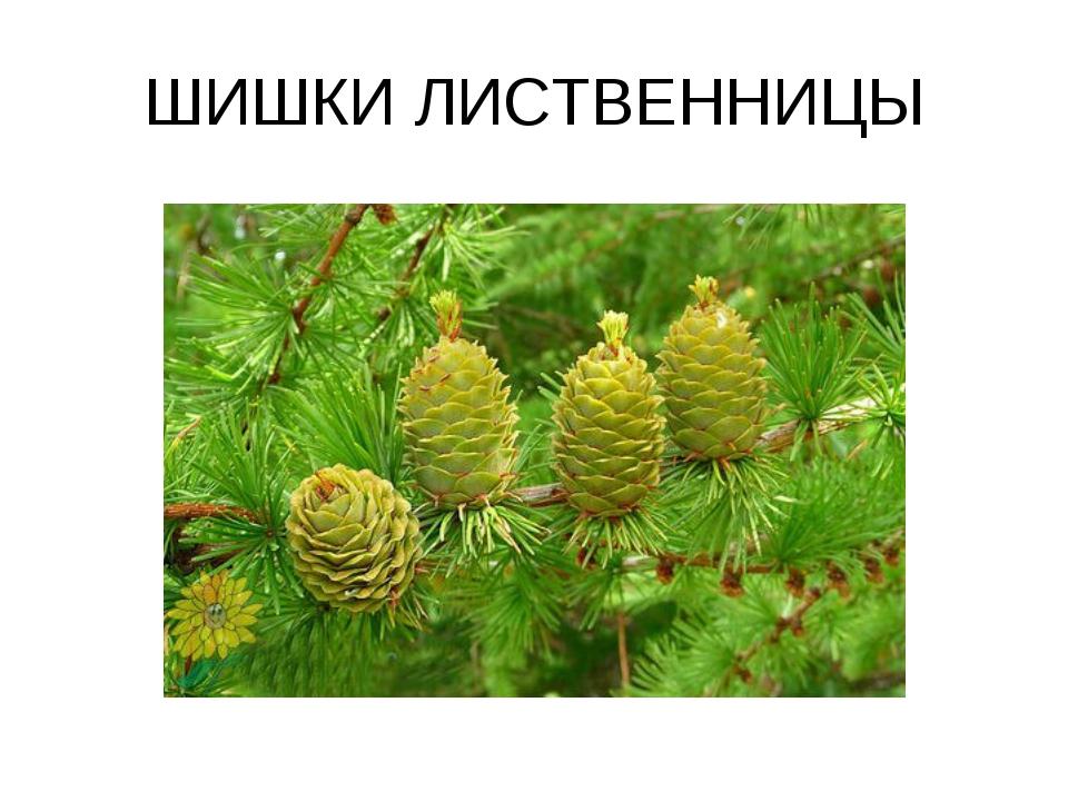 ШИШКИ ЛИСТВЕННИЦЫ