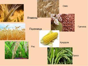 Ячмень Пшеница Овёс Гречиха Рис Кукуруза Просо