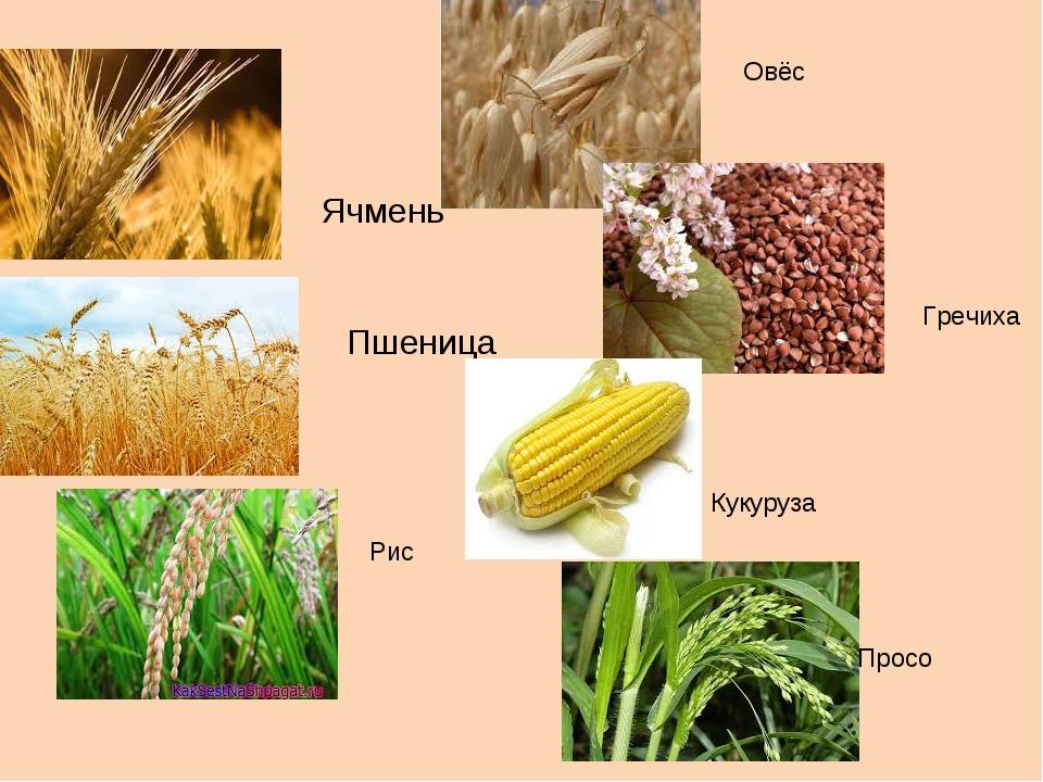 картинки зерновых растений с названиями для кого