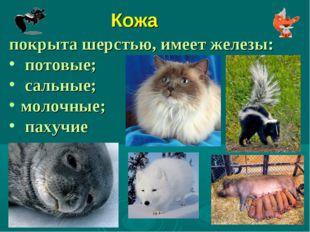 Кожа покрыта шерстью, имеет железы: потовые; сальные; молочные; пахучие