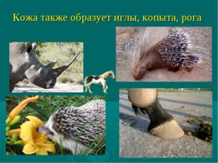Кожа также образует иглы, копыта, рога