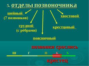 5. отделы позвоночника шейный (7 позвонков) грудной (с рёбрами) поясничный кр