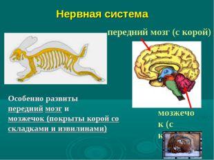 Нервная система Особенно развиты передний мозг и мозжечок (покрыты корой со
