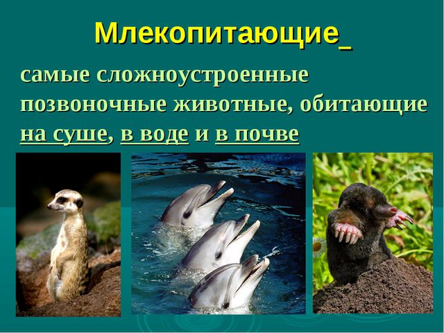 Млекопитающие самые сложноустроенные позвоночные животные, обитающие на суше,...