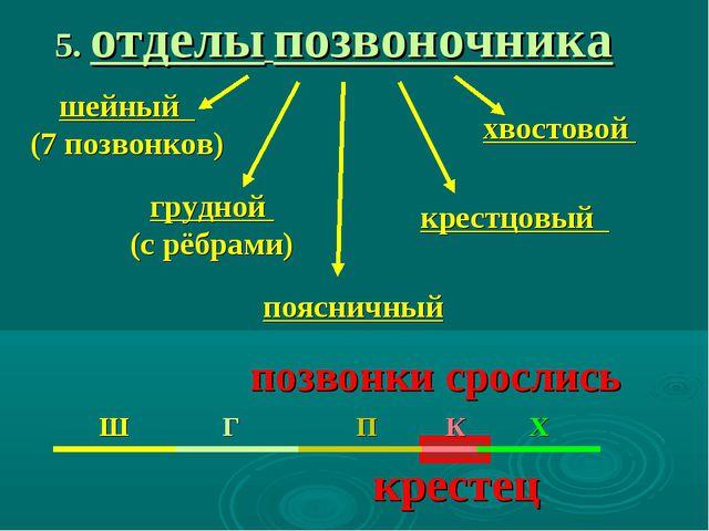5. отделы позвоночника шейный (7 позвонков) грудной (с рёбрами) поясничный кр...