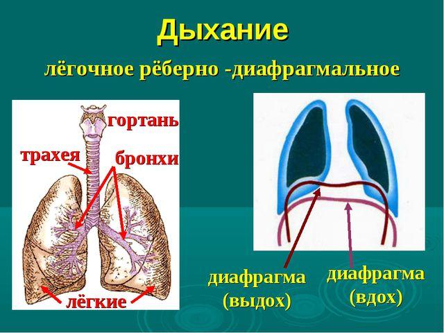 Дыхание лёгочное рёберно -диафрагмальное гортань трахея бронхи лёгкие диафраг...