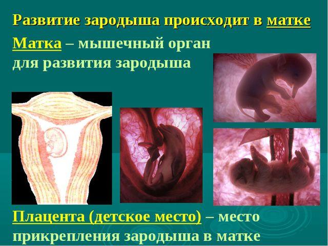 Развитие зародыша происходит в матке Матка – мышечный орган для развития заро...