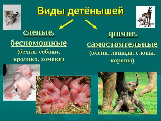 Виды детёнышей слепые, беспомощные (белки, собаки, кролики, хомяки) зрячие, с...