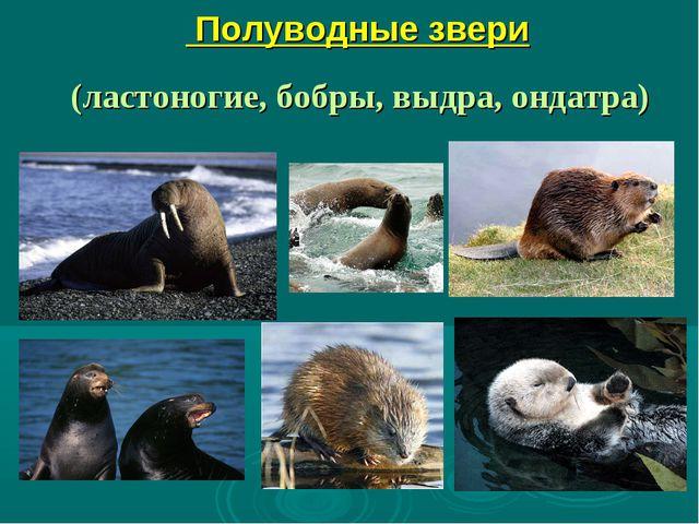 Полуводные звери (ластоногие, бобры, выдра, ондатра)