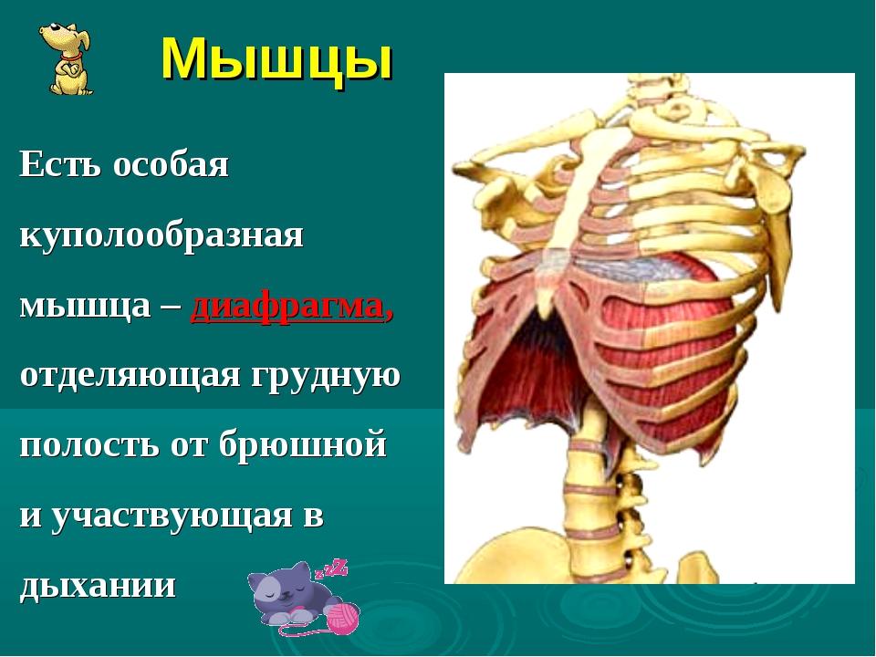 Мышцы Есть особая куполообразная мышца – диафрагма, отделяющая грудную полост...
