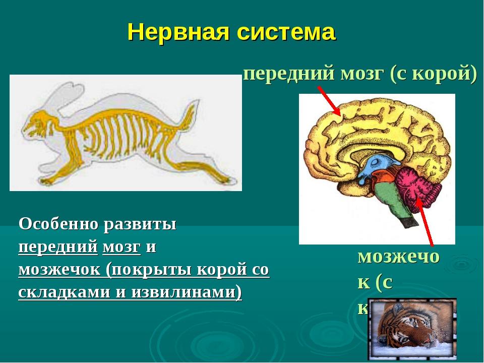 Нервная система Особенно развиты передний мозг и мозжечок (покрыты корой со...