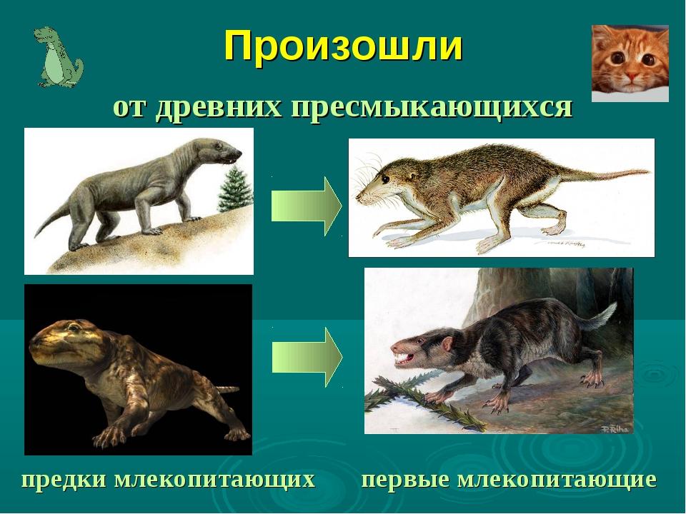 Произошли от древних пресмыкающихся предки млекопитающих первые млекопитающие