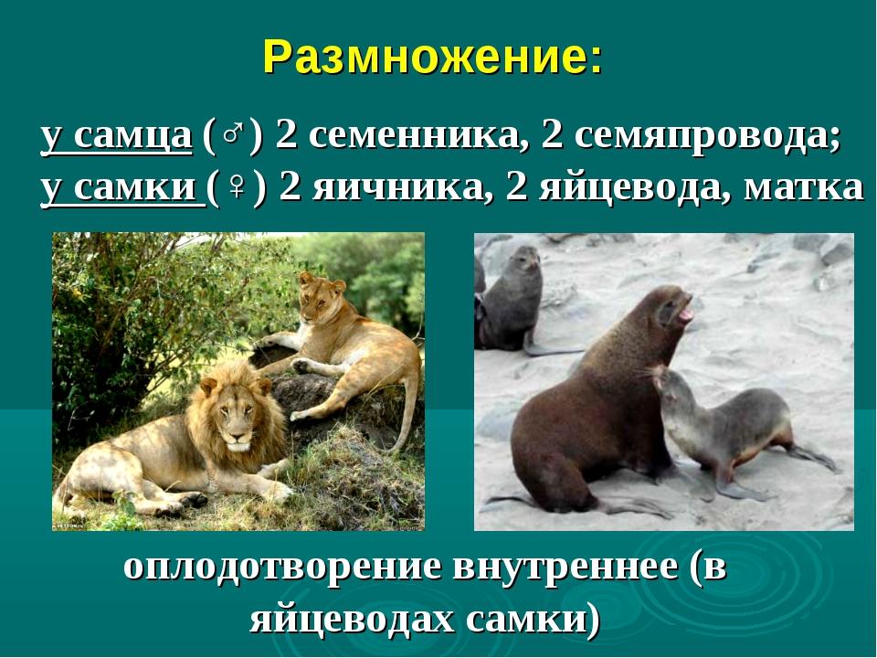 Размножение: оплодотворение внутреннее (в яйцеводах самки) у самца (♂) 2 сем...