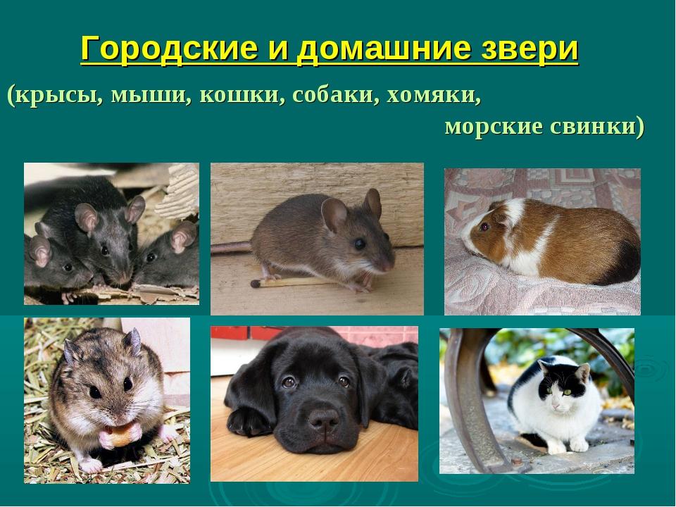 Городские и домашние звери (крысы, мыши, кошки, собаки, хомяки, морские свинки)